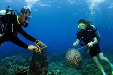Another coral-eating COT starfish is bagged for disposal on land later