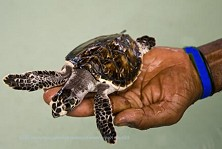 This turtle will be released shortly