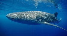 Gentle giant of the deep, a whale shark cruising the Tioman area